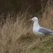 zilvermeeuw-european-herring-gull-11