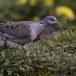 Zomertortel-European-turtle-dove-04