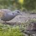Zomertortel-European-turtle-dove-05