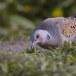 Zomertortel-European-turtle-dove-06