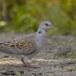 Zomertortel-European-turtle-dove-07