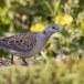 Zomertortel-European-turtle-dove-08