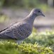 Zomertortel-European-turtle-dove-09