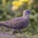 Zomertortel-European-turtle-dove-10