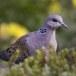 Zomertortel-European-turtle-dove-11