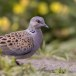 Zomertortel-European-turtle-dove-12