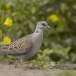 Zomertortel-European-turtle-dove-13