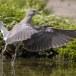 Zomertortel-European-turtle-dove-15