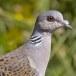 Zomertortel-European-turtle-dove-16