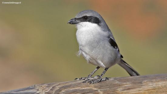 Zuidelijke klapekster - Southern Grey Shrike 06