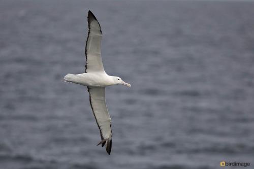 Zuidelijke Koningsalbatros_Southern Royal Albatross06