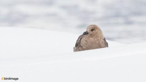 Zuidpooljager_South Polar Skua02