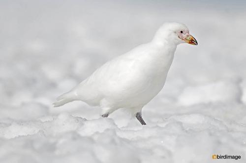 Zuidpoolkip_Snowy Sheatbill 03