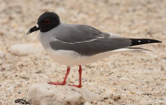 zwaluwstaart-meeuw-swallowtail-gull-01