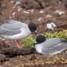 zwaluwstaart-meeuw-swallowtail-gull-02
