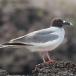 zwaluwstaart-meeuw-swallowtail-gull-04