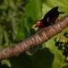zwartbandbaardvogel-bearded-barbet-01