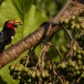 zwartbandbaardvogel-bearded-barbet-02
