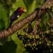 zwartbandbaardvogel-bearded-barbet-03
