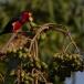 zwartbandbaardvogel-bearded-barbet-04