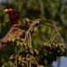 zwartbandbaardvogel-bearded-barbet-05