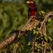 zwartbandbaardvogel-bearded-barbet-06