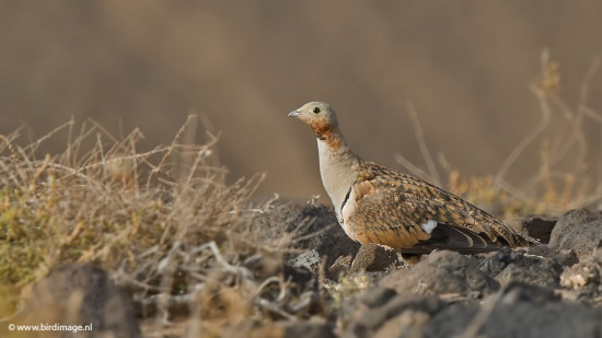 Zwartbuikzandhoen - Black-bellied Sandgrouse 02