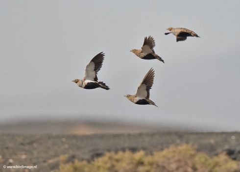 Zwartbuikzandhoen - Black-bellied Sandgrouse 06
