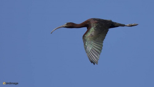 Zwarte ibis - Glossy Ibis 08