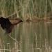zwarte-ibis-glossy-ibis-01