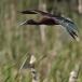 zwarte-ibis-glossy-ibis-03