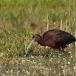 zwarte-ibis-glossy-ibis-05