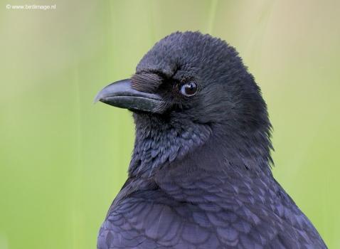 Zwarte kraai - Carrion Crow 03