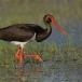 zwarte-ooievaar-black-stork-08