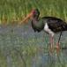 zwarte-ooievaar-black-stork-10