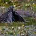 zwarte-reiger-black-heron-03