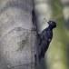 Zwarte-specht-Black-Woodpecker-21