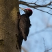zwarte-specht-black-woodpecker-01