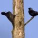zwarte-specht-black-woodpecker-04