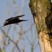 zwarte-specht-black-woodpecker-05
