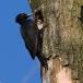 zwarte-specht-black-woodpecker-06