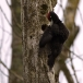zwarte-specht-black-woodpecker-08