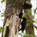 zwarte-specht-black-woodpecker-09