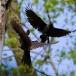 zwarte-specht-black-woodpecker-10
