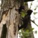 zwarte-specht-black-woodpecker-11