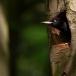 zwarte-specht-black-woodpecker-17
