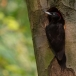 zwarte-specht-black-woodpecker-18
