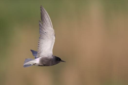 zwarte-stern-black-tern-01