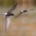 zwarte-stern-black-tern-16