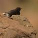 zwarte-tapuit-black-wheatear-02